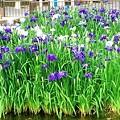 花菖蒲(花園中央公園)