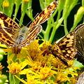 サカハチチョウとカラフトタカネキマダラセセリとコチャバネセセリ