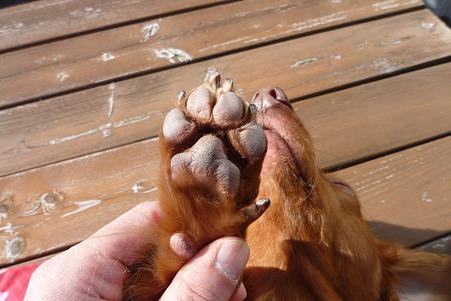 ワンコの足裏毛をカット(アフター) チャッピー
