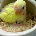 写真: 小桜インコ。 ゴールデンチ...