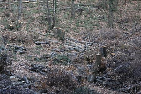 2011.12.28 追分市民の森 どんぐりの林消滅