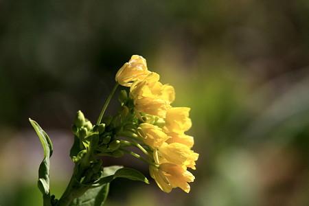 2012.02.17 和泉川 菜の花