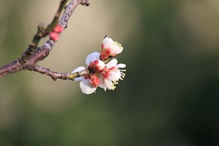 2012.03.16 和泉川 梅