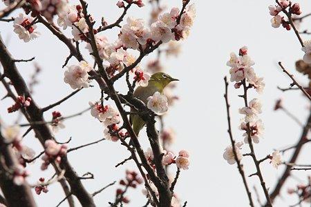 2012.03.22 和泉川 梅にメジロ