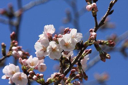 2012.04.05 和泉川 ソメイヨシノ