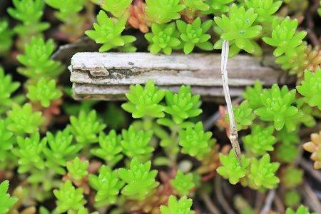 2012.05.07 和泉川 セダムの様な草
