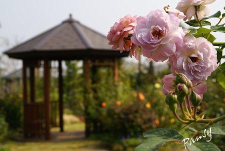 バラ園「薔薇の轍」・・1