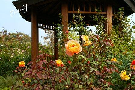 バラ園「薔薇の轍」・・3