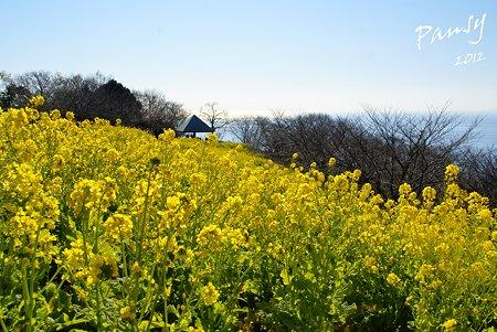 菜の花畑 2012・・15