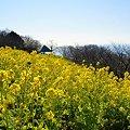 写真: 菜の花畑 2012・・15