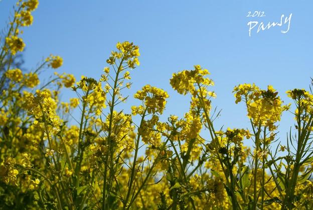写真: 菜の花畑 2012・・16