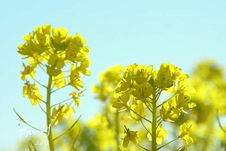 菜の花畑 2012・・17