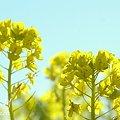 写真: 菜の花畑 2012・・17