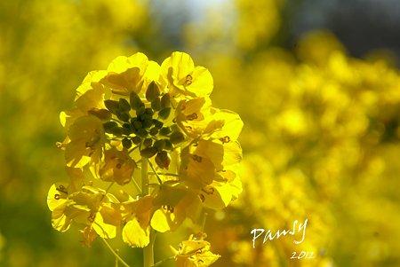 菜の花畑 2012・・18