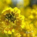 写真: 菜の花畑 2012・・18