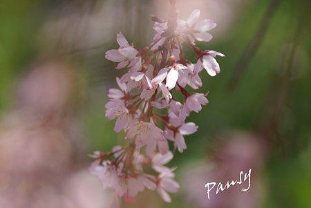 三ッ池公園の桜 42