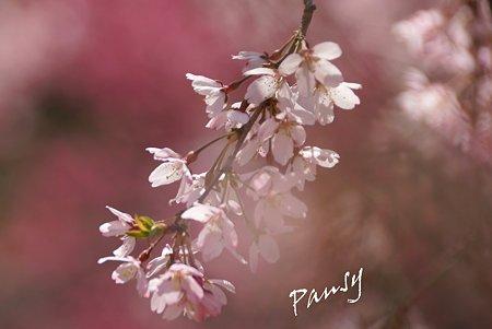 三ッ池公園の桜 43