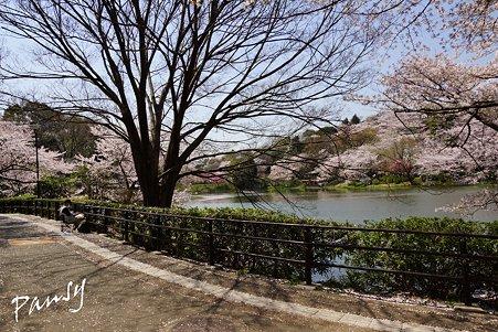 絵を描く人のいる風景・・三ッ池公園の桜 51