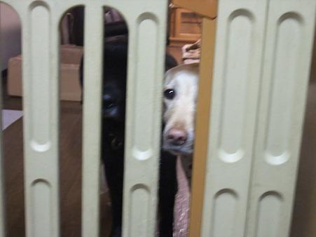 いつでも見つめる犬達