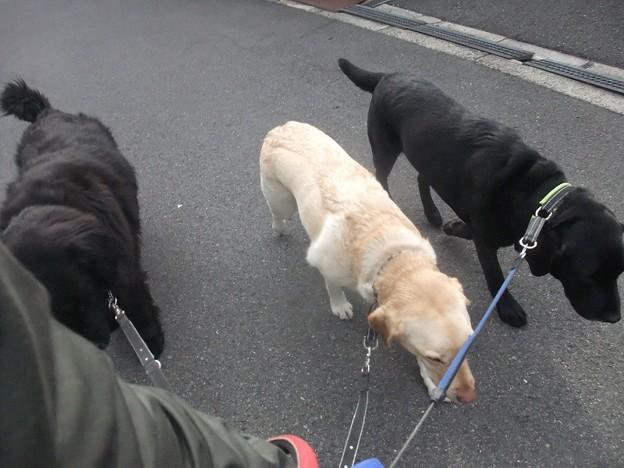 Photos: 賢い大型犬チーム