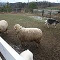 Photos: 山羊さん羊さん