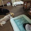 Photos: お見合い終了後、隔離されてたデカ犬達と