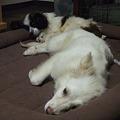 Photos: 寝る犬達