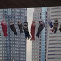 Photos: みなとみらいの鯉のぼり2!