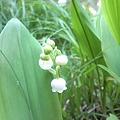 写真: 庭の片隅にすずらんが咲いて...