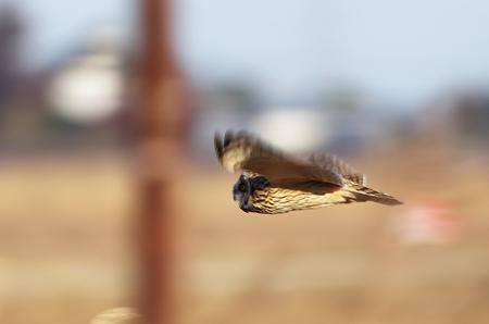 コミミズクの飛翔 流し撮り