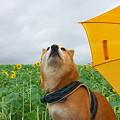 Photos: 星を守る犬のつもりが・・・ね~