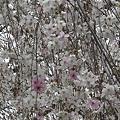 Photos: 六角堂枝垂れ桜2