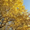 写真: 111210 黄葉