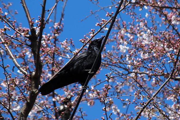 Photos: 桜とカラス