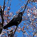 写真: 桜とカラス
