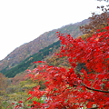 モミジ 白山スーパー林道の麓(2)