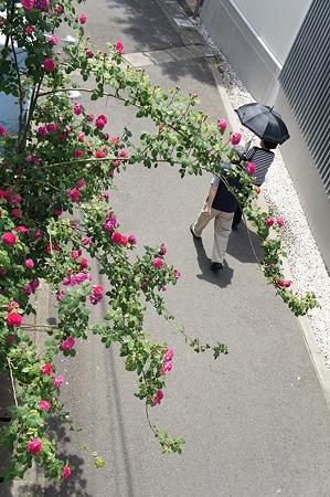 バラの下をくぐる