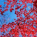 秋深く 青に染まりし 赤滲む