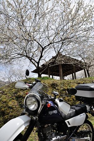 月ヶ瀬で梅撮影2012-1