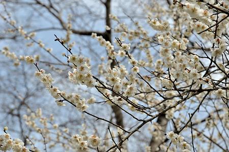 月ヶ瀬で梅撮影2012-3