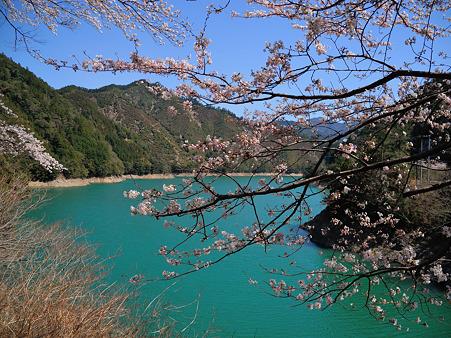 下北山村の桜・6