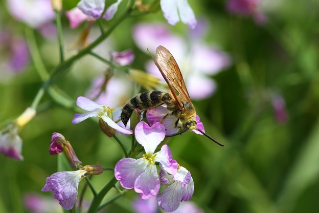 キンケハラナガツチバチ#1