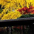 本土寺の銀杏